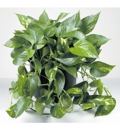 Golden Pothos indoors . . I have several of these right now, in various sizes... I take starts off plants that are getting too big for their pot . . .