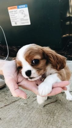 Pin by Emma Novak on pups Cute Dogs And Puppies, Little Puppies, I Love Dogs, Doggies, Cute Funny Animals, Cute Baby Animals, Animals And Pets, King Charles Puppy, Cavalier King Charles