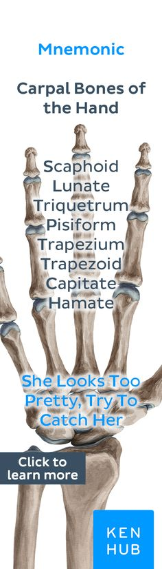 The carpus is comprised of eight individual carpal bones that are seated in two neat rows of four. #anatomy #learn #bones #mnemonic