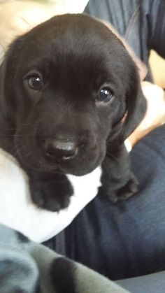 AWW THE BEST DOG BREED OUT THERE - Labrador Retrievers