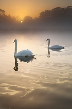 A pair of Swans are up before the sun on the Lake at Langley Country Park, Buckinghamshire, England