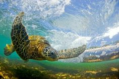 """""""Flying Honu,"""" photo by Clark Little,  awarded distinction of Highly Honored Photographer of Endangered Species for his pictures of this Hawaiian green sea turtle. Award presented by Nature's Best Photography: Windland Smith Rice International Awards."""