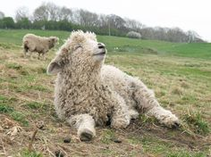 """From the Facebook page of The Risby Flock of Lincoln Longwools, with the caption """"Easy Like Sunday Morning""""."""