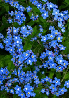 Forget-me-not The came up all over the hillside right after John died. Will always remember you, dear friend.