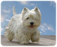 West Highland White Terrier ♥