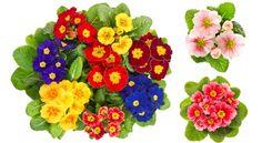Prímula: veja como cuidar e cultivar esta bela flor!