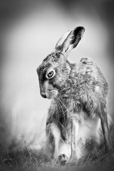 great photo of an evil hare!