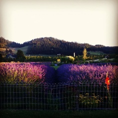 Vibrant evening colors on the lavender farm,as the sunsets! #lavenderfarm #hoodriver #organic #oregon #vibrant #sunset #beauty