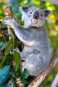 Koala, Faunal State Emblem of Queensland  Officially proclaimed in 1971, the koala is common throughout the forests and woodlands of eastern Australia's coastal regions. This revered marsupial spends most of its life in the tops of eucalyptus trees, dozing up to 20 hours a day.