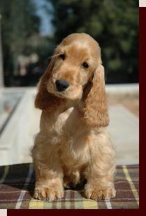 Cute puppy cocker