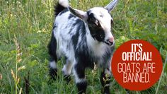 Why we banned goats from our homestead! A definite must read!! Keeping Goats, Future Farms, Goat Farming, Urban Homesteading, Hobby Farms, Livestock, Farm Life, Farm Animals, Animal Pictures