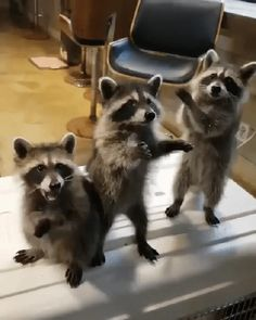 The Ultimate Dump Of Hilarious Raccoons - CutesyPooh