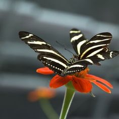 Zebra butterflies attracted to a red blossom!