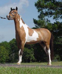 beautiful mini horse | ... Miniature Horse Stallion, owners: Mor Fun Miniature Horses, Jean and
