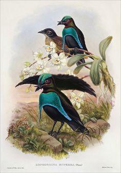 Richard Bowdler Sharpe_ Birds of paradise 21