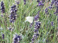 Norfolk Lavender. Image by courtesy of IFPA Member Emi Bellamy