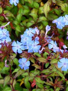 Ceratostigma willmottianum (Loodkruid) Euonymus Alatus Compactus, Dream Garden, Shrubs, Green, Flowers, Plants, Florals, Shrub, Plant
