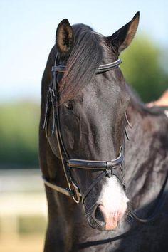 Beautiful Rhinelander Dressage Horse German Warmblood