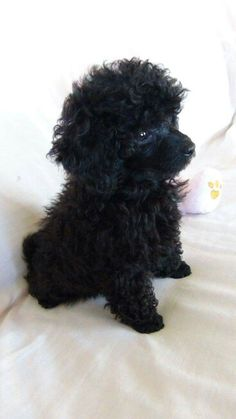 A Sweet baby Pretty Poodle!