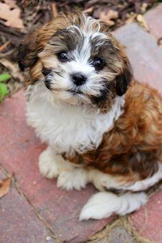 My Teddy Bear puppy!