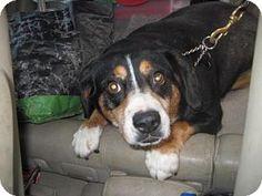 Entlebucher Mix Dog for adoption in DAYTON, Ohio - Ember Rose