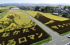 Agricultural Art: Japanese Rice Murals...While the western world has their crop circles, the rice paddies of Japan are graced with elaborate murals quite apparently made with human hands.  These Japanese Rice Murals are a part of a Japanese tradition in two farming towns, Inakadate and Yonezawa, Japan.