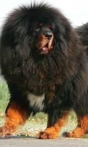 Tibetan Mastiff Giant Dog Breeds, Giant Dogs, Large Dog Breeds, I Like Dogs, Big Dogs, Large Dogs, Giant Animals, Baby Animals, Cute Animals