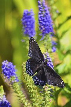 ~~Butterfly by H Oke~~