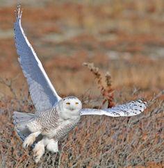 Snowy Owl on West Dennis Beach, MA by Jeremiah R. Trimble