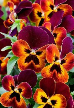 Pansy Flower Care Learn how to take of pansies through out the growing season. Amazing Flowers, My Flower, Pretty Flowers, Colorful Flowers, Dream Garden, Pansies, Mother Nature, Planting Flowers, Bloom