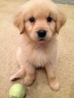 Super Cute Puppies, Cute Baby Dogs, Cute Little Puppies, Cute Dogs And Puppies, Cute Little Animals, Doggies, Lab Puppies, Golden Retriever Mix, Retriever Puppy