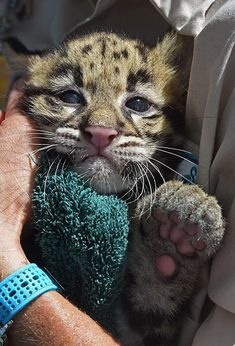 Clouded Leopard cubs pass their check-ups, at Zoo Miami. Two-month-old 'Malee' and her sister, 'Suree', were given a clean bill of health during recent exams. Check out ZooBorns for more info and more pics! http://www.zooborns.com/zooborns/2015/05/clouded-leopard-cubs-pass-their-check-ups.html