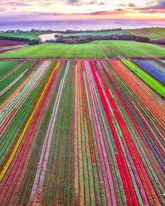 Tulip fields (Tasmania, Australia) [drone shot]