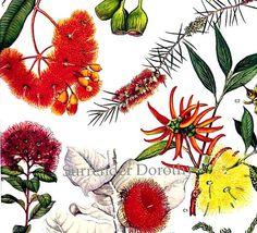 Eucalyptus & Gum Flowers Australia Plants Botanical Exotica 1969 Large Vintage Litho Illustration