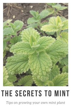 My mint plant is probably my favorite out of my entire garden right now! It's so easy and simple and you can use mint for so many things from garnishing drinks, adding a burst of flavor to food, and to help headaches, colds, and fevers! #mint #herb #garden #gardening #homegarden #homegardening #plant #plants #leaves #herbs #herbgarden #growing #grow