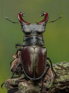 Stag Beetle By Yvonne Spne