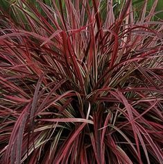 Red Fountain Grass | Florabundance Wholesale Flowers Garden Types, Pennisetum Setaceum, Red Fountain Grass, Red Grass, Growing Peppers, Types Of Herbs, Marijuana Plants, Cannabis Growing, Diy Wedding Flowers