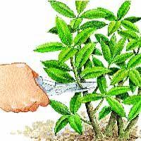 Bouturer le rhododendron - Prélever les boutures