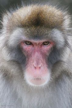 Macaque Close Up Ape Monkey, Monkey King, Animals And Pets, Funny Animals, Cute Animals, Primates, Japanese Monkey, Animal Close Up, Macaque Monkey