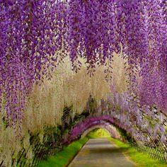 The amazing fairytale flower tunnel. The Kawachi Fuji Gardens, Japan