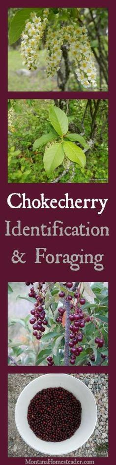 Chokecherry Identification & Foraging wild edibles and how to use chokecherries | Montana Homesteader: