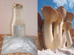 Substrat oder Körner Pilzbrut und Spar-Angebote einfach unten im Pilzbrut-Auswahl Fenster auswählen. Der Kräuterseitling auch Königsausternpilz genannt ist eine wahre Delikatesse. In Konsistenz und mit seinem delikaten Geschmack...