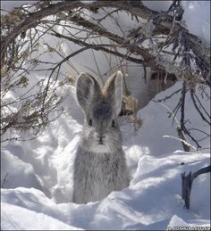 Hare in the snow!