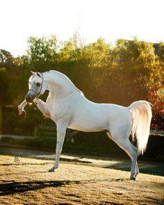 Arabian horse - Escape Ibn Navarrone-D