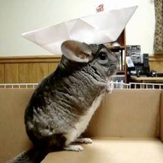 Chinchilla paper hat! :0 Makes me happy.
