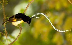 King-of-Saxony Bird-of-Paradise..toni arias von hohenzollern... university of ornithology the cornell new york..lab.uccellini