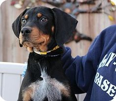 Yardley, PA - Black and Tan Coonhound Mix. Meet Howdy, a puppy for adoption. http://www.adoptapet.com/pet/17310478-yardley-pennsylvania-black-and-tan-coonhound-mix