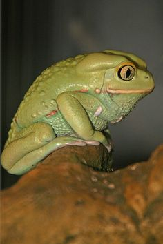 Giant Waxy Monkey Frog