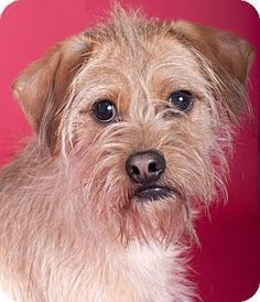 Chicago, IL - Yorkie, Yorkshire Terrier/Cairn Terrier Mix. Meet Ollie, a dog for adoption. http://www.adoptapet.com/pet/18077639-chicago-illinois-yorkie-yorkshire-terrier-mix #yorkshireterrier