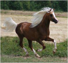 81% Arabian stallion Udjali Silver Fame